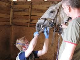 Regular quality equine dentistry is important to maintain the horse's comfort