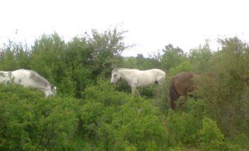 horses browsing