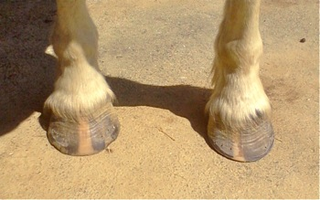 first natural hoof trim after shoes removed