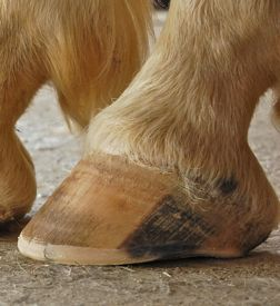 A healthy barefoot hoof, with natural trim
