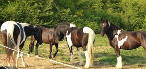 herd behavior and horse relationships