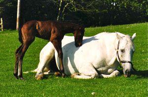 herd behavior: mare and foal