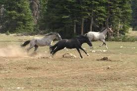 herd dynamics colts chasing
