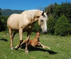herd dynamics mare and foal
