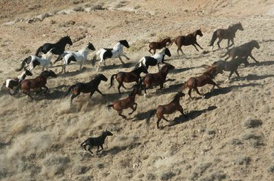 herd dynamics galloping