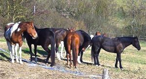 horses relaxing in the herd environment