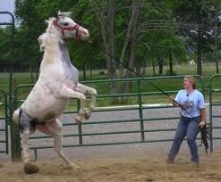 horse trauma: dangerous behavior