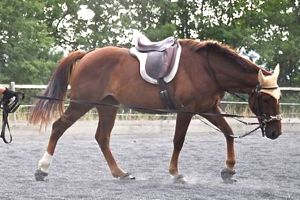 preparation of young horse on the lunge