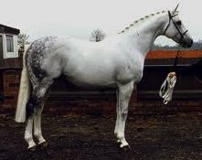 Java Tiger, thoroughbred stallion