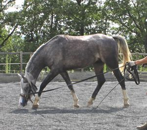 lunging a young horse with the correct bend and longitudinal stretch