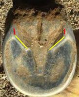 mustang hoof bar angle
