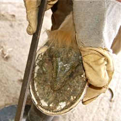Natural trim rasping barefoot