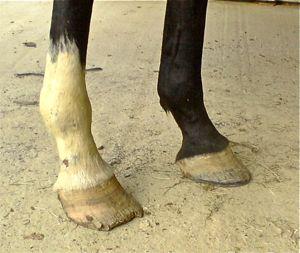Footjob horse