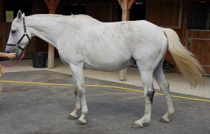 stiff horse, release of compenation