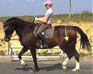 A flat-seated dressage saddle allows the rider's seat to be correctly engaged