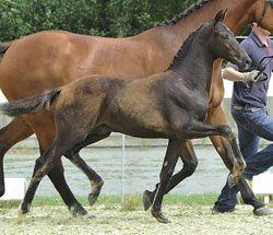 elite dressage foal