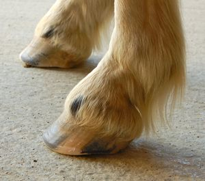 healthy hooves with the natural barefoot trim