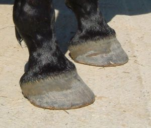 barefoot trims - excessive rasping of outer hoof wall