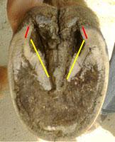 shoe-damaged hoof bar angle