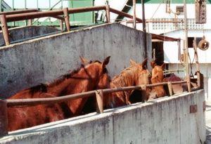 Horses for slaughter
