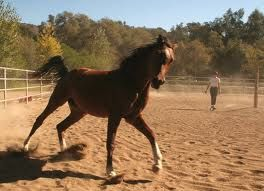 lunging a horse is superior to loose schooling