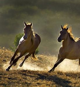 wild horses showing natural counter-bend