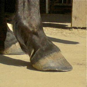 natural barefoot trim