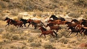 wild horses galloping