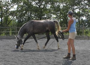 young horse training lunge work